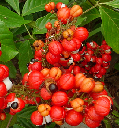 guarana i semi di guarana integratori di guarana